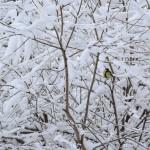 Синица - птица зимняя